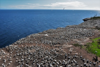 Northern gannets colony, Bonaventure Island