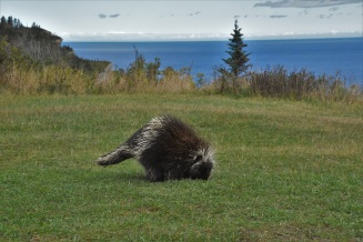 Porcupine, Forillon National Park