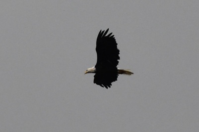 Bald eagle, Gaspésie National Park