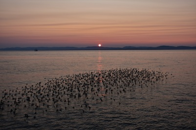 Birds, sunset, St Lawrence