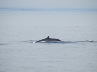A whale in the St Laurent River near Tadoussac