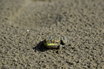 Frog, Farewell Spit