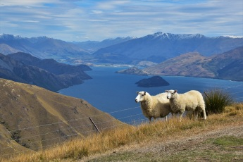 Sheep, Isthmus Peak