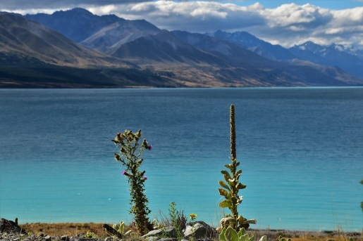 Flowers, Lake Pukaki