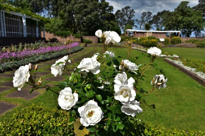Roses, Michael Joseph Savage Memorial, Auckland