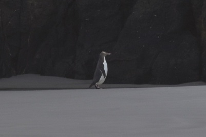 Penguin, Sandfly Bay
