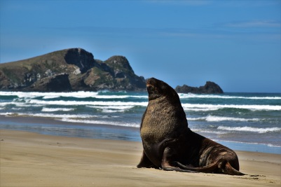 Sea lion, Surat Bay