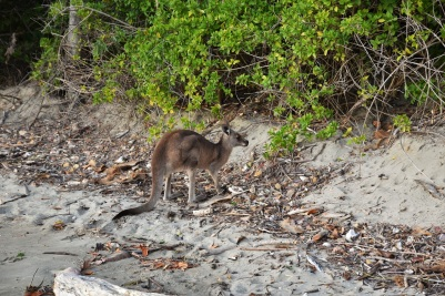 Kangaroo, Cape Hillsborough