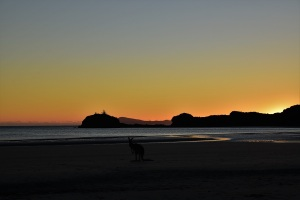 Kangaroo, sunrise, Cape Hillsborough