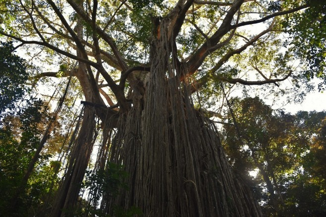 Curtain Fig Tree, Atherton Tablelands