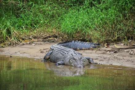 Crocodile, Daintree River