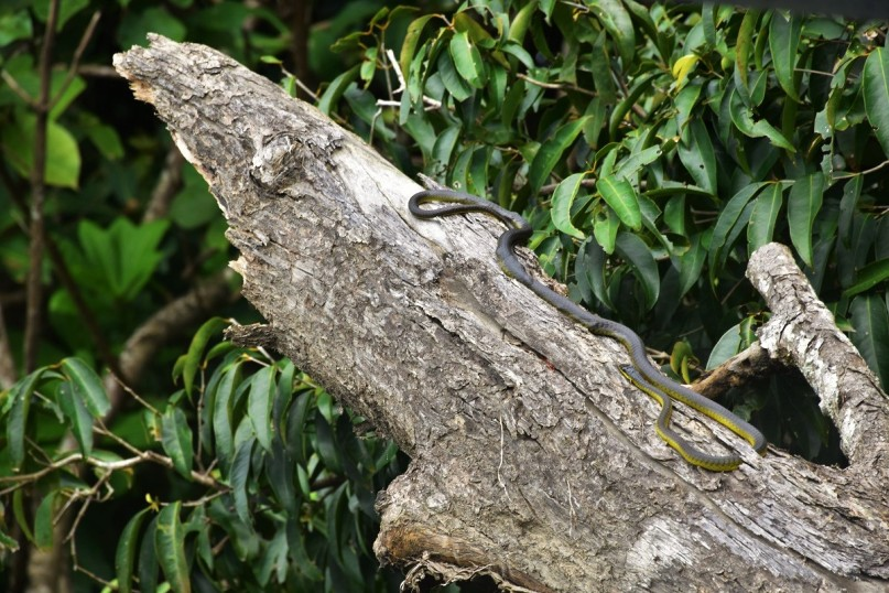 A snake sunbathing on a tree next to the Daintree River