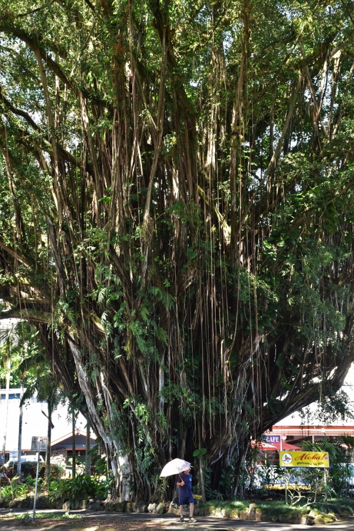 Banyan tree, Hilo, Big Island