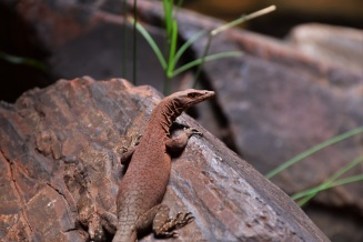 Lizard, Weano Gorge, Karijini National Park