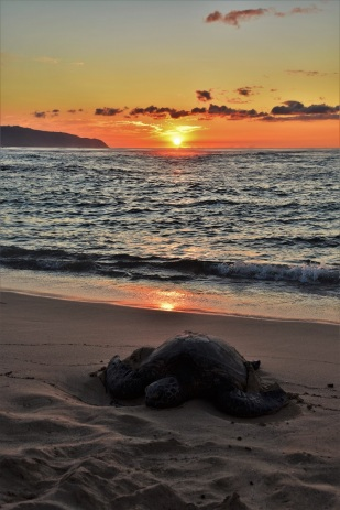 Turtle at sunset, Laniakea Beach, Oahu