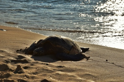 Turtle on the beach, Laniakea Beach, Oahu