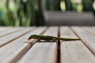 Lizard, Kona, Big Island