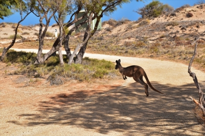 Kangaroo, Cape Range National Park