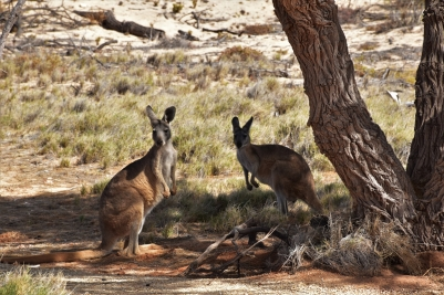 Kangaroos, Cape Range National Park