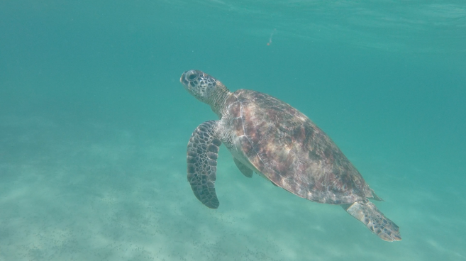 Turtle, Ningaloo Reef