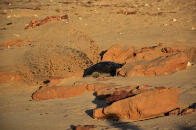 Turtle, Cape Range National Park