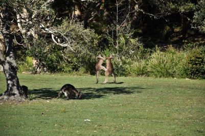 Kangaroos, South West Rocks