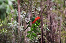 Parrot, Springbrook National Park
