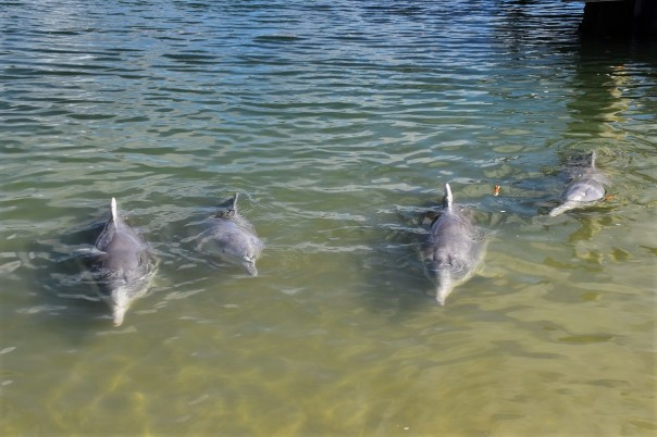 Dolphins, Tin Can Bay