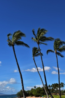 Palm trees, Ulua Beach, Maui
