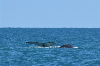 Whale watching, Whitsunday Islands