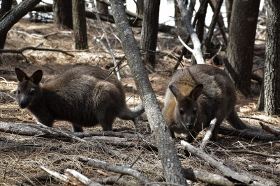 Wallabies, Freycinet National Park, Tasmania