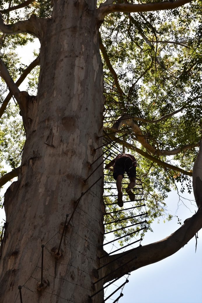 Gloucester tree, climb, ladder