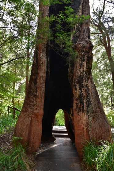 Karri tree, Valley of the Giants