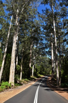 karri trees, road