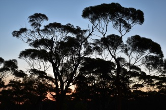 Trees, Sunset, Western Australia