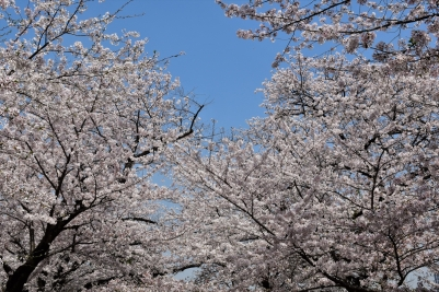 Cherry blossoms, Tokyo Imperial Palace