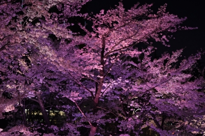 Cherry blossoms in Tokyo Midtown