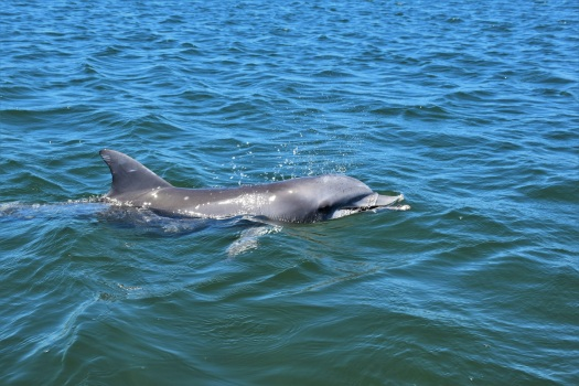 Dolphin, Whyalla, South Australia
