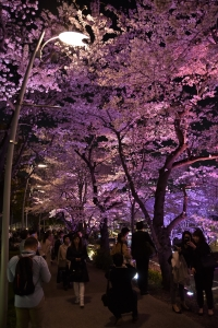 Cherry blossoms, Midtown, Tokyo