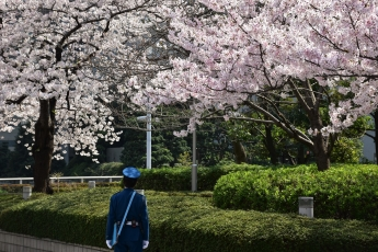 Policeman, cherry blossoms, Tokyo