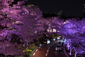 Cherry blossoms, Tokyo Midtown