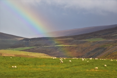 Sheep, rainbow