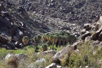 Palm canyon, oasis, Anza-Borrego