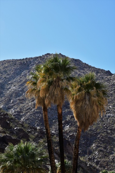 anza-borrego-palm-canyon-palm-trees-3