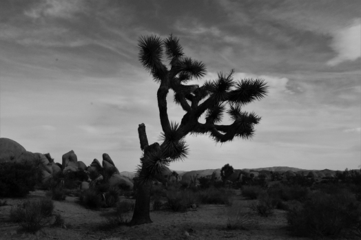 Joshua tree, black and white