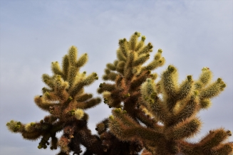 Joshua Tree National Park, cholla cactus
