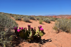 Valley of Fire, flowers