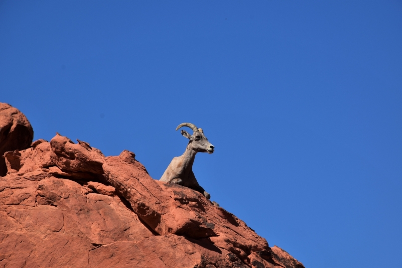 Valley of Fire, bighorn sheep