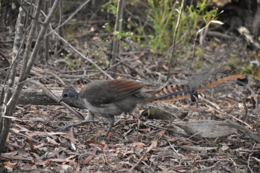 Blue Mountains, lyrebird
