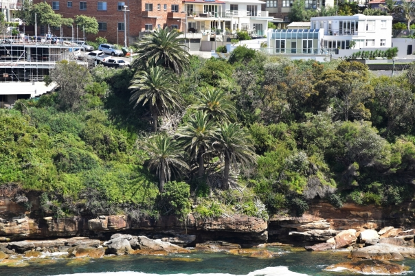 Bondi to Coogee walk, palm trees